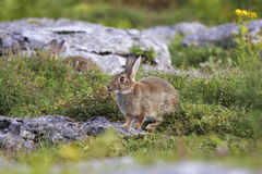 Bunny Royalty Free Stock Images