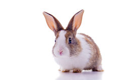 Bunny. Cute bunny with curious look, looking at the camera. Isolated on white