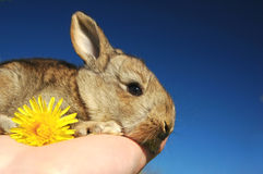 Bunny. Young bunny on hand with yellow flower Stock Photos