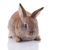 Bunny. Cute bunny looking at the camera. Isolated on white with reflection