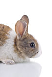 Bunny Royalty Free Stock Photos