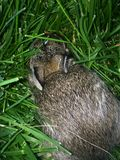 bunny fotografia de stock royalty free