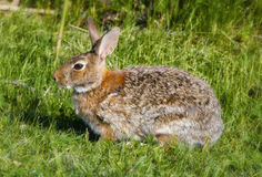 bunny Στοκ φωτογραφία με δικαίωμα ελεύθερης χρήσης