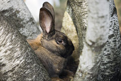 Bunny. In between birch trees Royalty Free Stock Photography