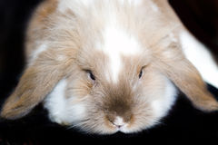 Bunny. Big  bunny over the black Royalty Free Stock Image
