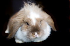 Bunny. Tousled bunny over the black Royalty Free Stock Image