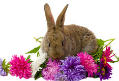 Bunny And Aster Flowers Royalty Free Stock Photography