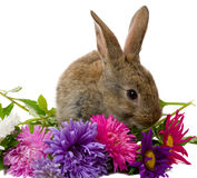 Bunny And Aster Flowers Stock Photos