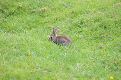 A bunny. A baby bunny rabbit in a field Stock Photography