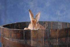 Bunny in barrel. Rabbit peeking out of a wooden barrel Royalty Free Stock Photo