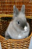 Bunny in a basket. Grey dwarf bunny in a basket royalty free stock photos