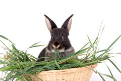 Bunny in basket full off grass Royalty Free Stock Image