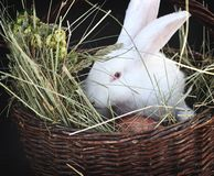 Bunny in the basket. White bunny in the basket stock photography