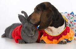Bunny and basset hound Stock Image
