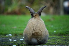 Bunny From Behind. Rabbit on path with grass background looking forward Stock Images