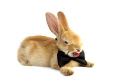 Bunny in a bow tie yawns. Royalty Free Stock Photo