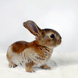 Bunny brown Royalty Free Stock Photo