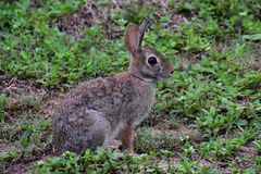 Bunny. In grass Royalty Free Stock Photography