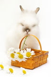 Bunny with camomile Stock Photos