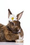 Bunny with camomile Royalty Free Stock Images