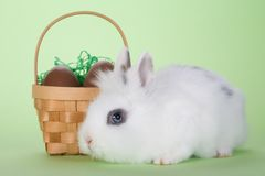 Bunny with chocolate eggs Royalty Free Stock Photo