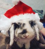 Bunny Christmas to you royalty free stock image