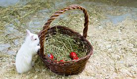 Bunny curious about the easter eggs basket Royalty Free Stock Photos