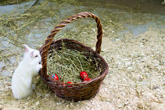 Bunny curious about the easter eggs basket Royalty Free Stock Photography