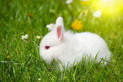 Bunny with daisies Royalty Free Stock Photos