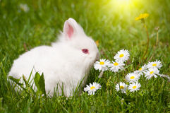 Bunny with daisies Royalty Free Stock Image
