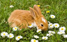 Bunny with daisies. Brown little rabbit with daisies on green meadow stock photo