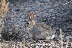 Bunny in the desert stock photography