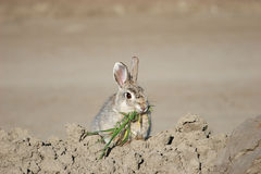 Bunny with Dinner. A little bunny rabbit rounding up some grass for dinner Royalty Free Stock Photography