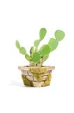 Bunny Ears Cactus (Opuntia Microdasys) In Pot Royalty Free Stock Images