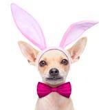 Bunny ears dog Royalty Free Stock Image