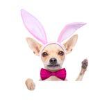 Bunny ears dog Stock Image