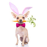 Bunny ears dog. Chihuahua dog  with bunny easter ears and a pink tie, with a carrot in mouth, isolated on white background Stock Image