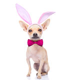 Bunny ears dog. Chihuahua dog  with bunny easter ears and a pink tie, isolated on white background Stock Photography