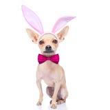 Bunny ears dog Stock Photography