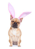 Bunny easter ears dog Stock Photography