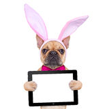 Bunny easter ears dog. French bulldog dog  with bunny easter ears and a pink tie, holding a blank laptop pc computer tablet , isolated on white background Stock Image