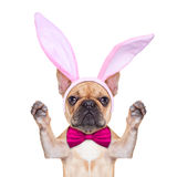 Bunny easter ears dog Stock Photo