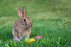 Bunny and Easter eggs in the grass Stock Image
