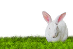 Bunny Easter on grass on right side. Bunny Easter on right side on grass on white background Royalty Free Stock Photos