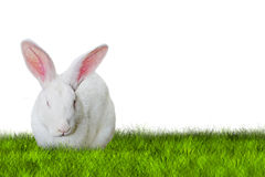 Bunny Easter on grass. On white background Royalty Free Stock Image