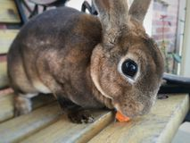 Bunny eating a royalty free stock images