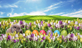 Bunny with Eggs colorfull Tulip field on grassland blue sunny sky greeting Happy Eastern textspace. Bunny with Eggs and pink and white Tulip on grassland blue stock image
