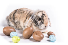 Bunny with eggs. Eastern still live, bunny sitting in easter eggs in front of a white background Royalty Free Stock Images