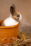 Bunny in a flowerpot. Little newborn rabbit bunny inside a flowerpot royalty free stock photos