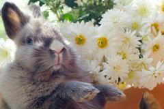 Bunny among the flowers. Bunny among the dahlia flowers close-up stock photos